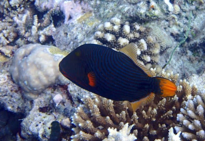 You may get the chance to see a number of Triggerfish at Kuda Rah Thila