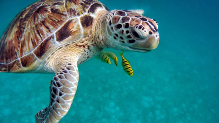 There are five out of the seven marine Turtle Species found in the Maldives