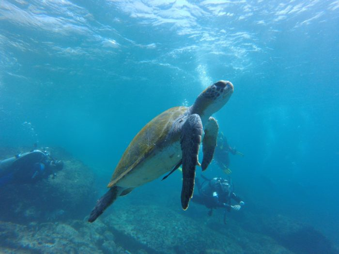 Turtles are seen regularly around the dive sites at Grace Bay.