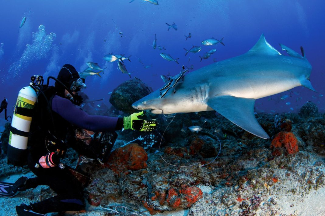 Should A Large Hook Be Removed By Hand From A Shark's Mouth? (Photo credit: Cassie Jensen)