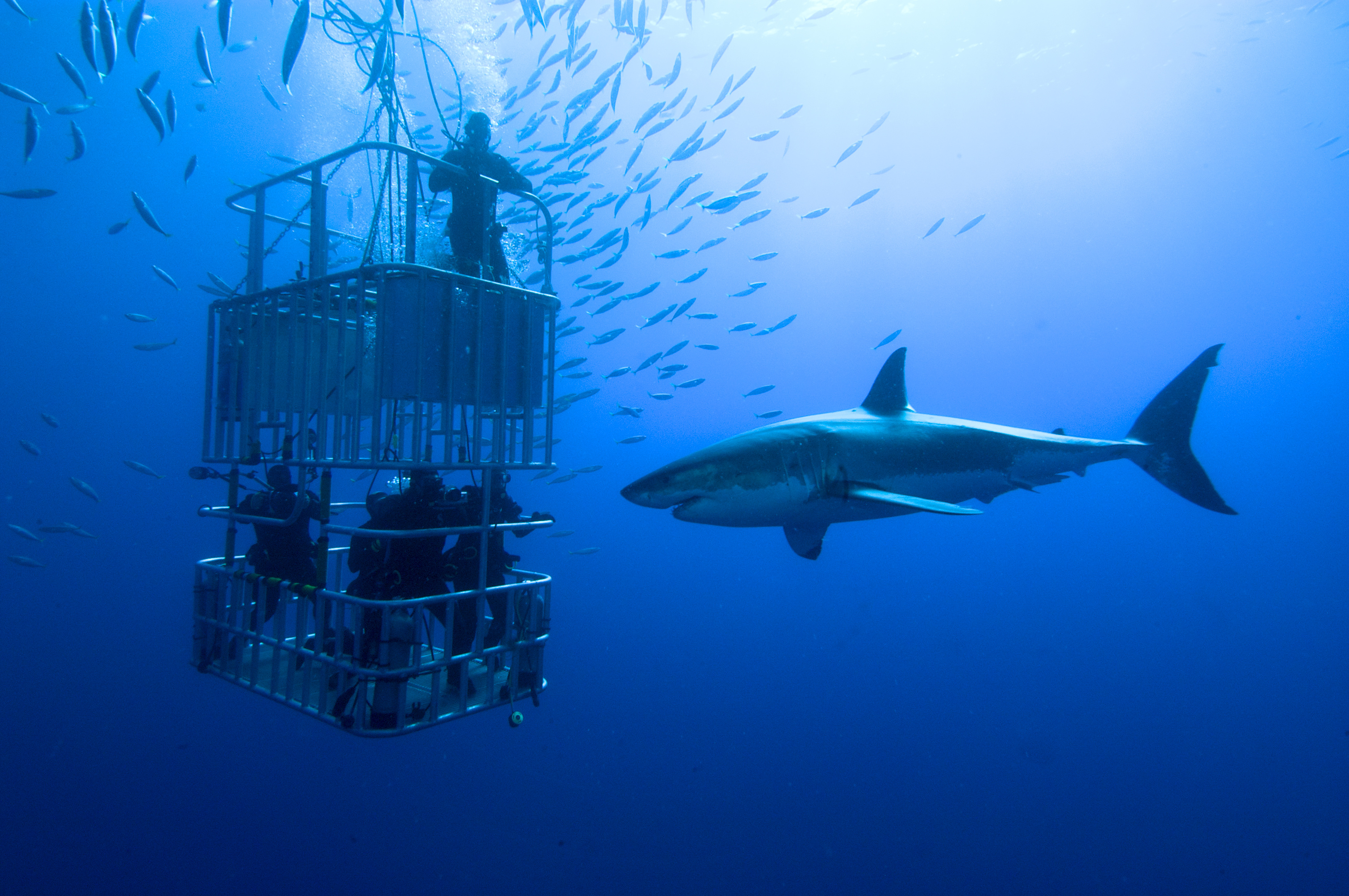 A Group of Divers Watching a Shark from a Diving Cage
