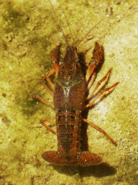 Crayfish are aplenty at Hin Daeng dive site