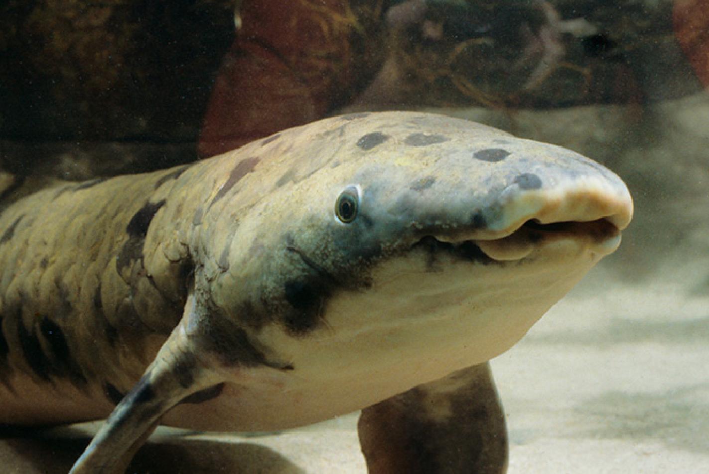 'Granddad,' Oldest Aquarium Fish In The World, Dies
