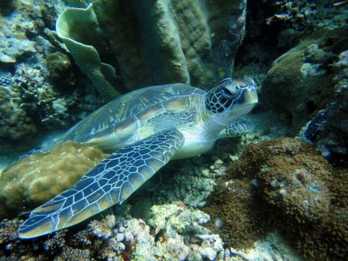 Apo Reef is a great place to see Turtles relaxing.
