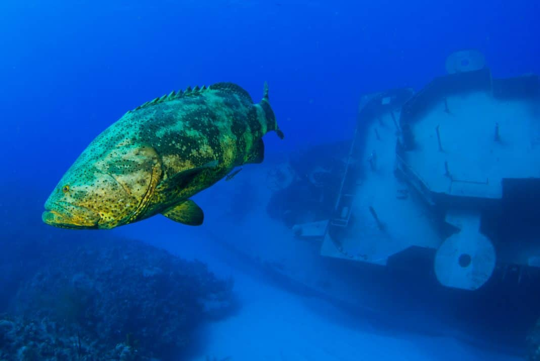 A goliath grouper swimming through the ocean in front of the wreck of the Kittiwake near Grand Cayman in the Caribbean