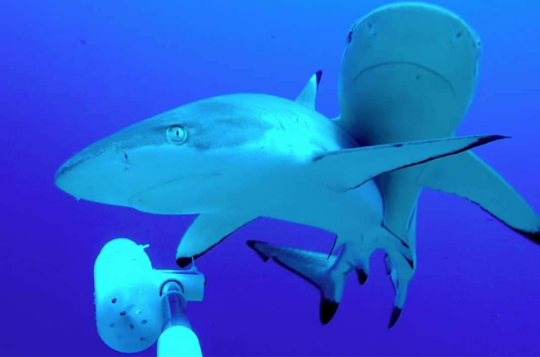 Diving Among Sharks Doesn't Appear To Affect Sharks' Long-Term Behavior Photo credit: Darcy Bradley