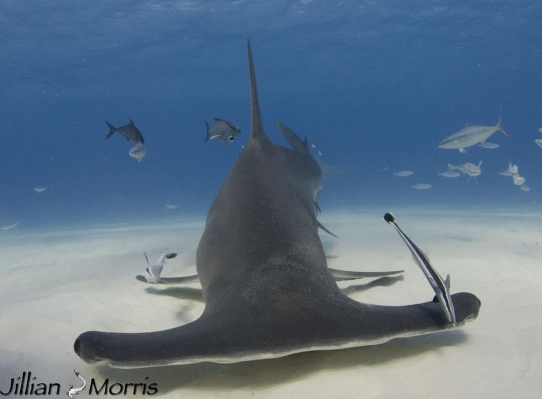 The Shark Diaries by Jillian Morris Brake