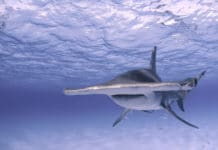 Great hammerhead shark Image: Jillian Morris