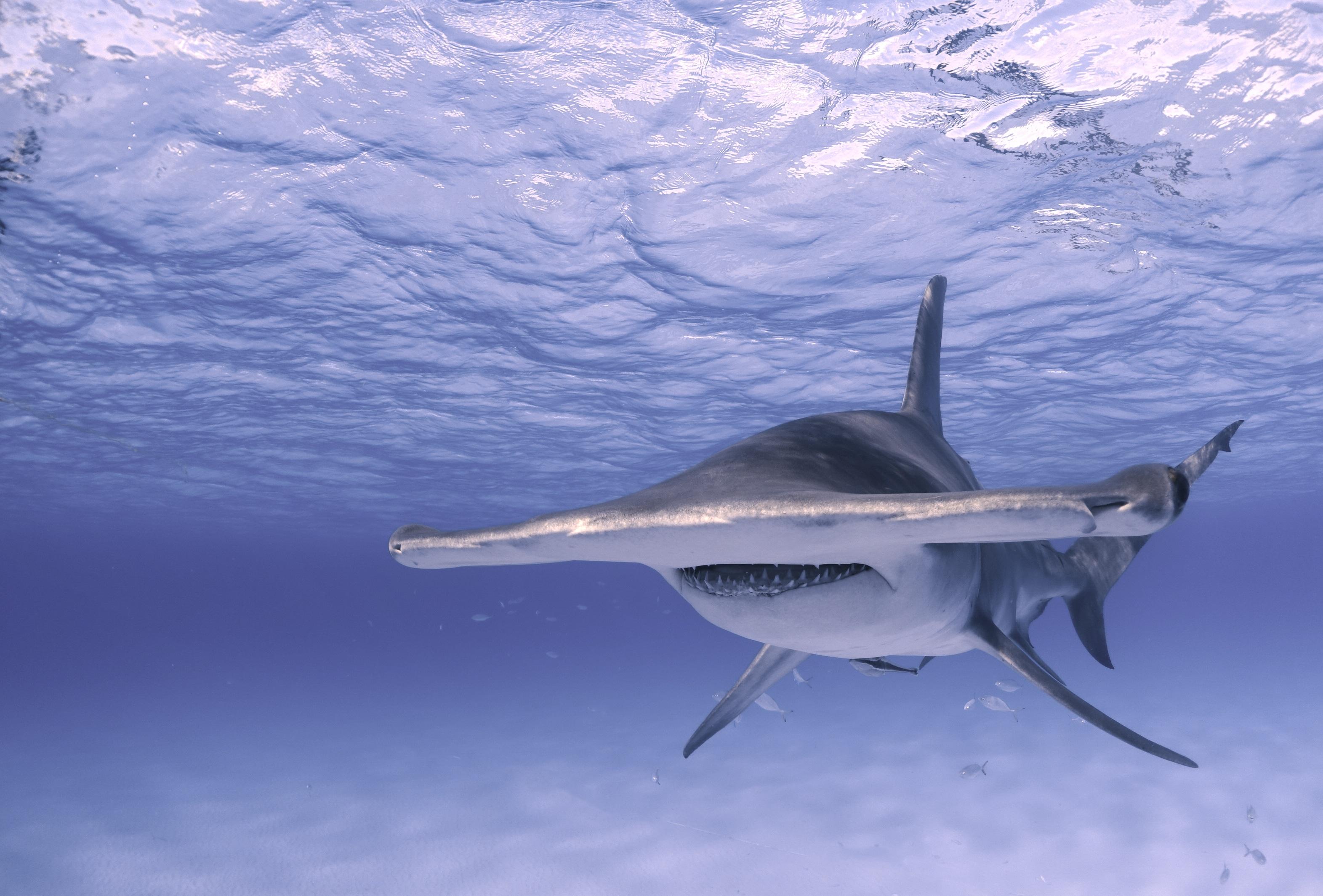 Great hammerhead shark Image: Jillian Morris