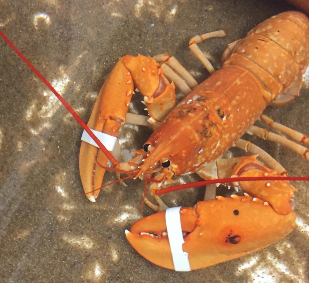Rare Lobster Saved From The Stove 2