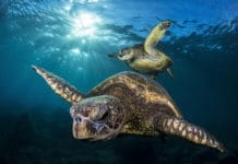 "Underwaterphotography.com Photo Contest Winner Tony Cherbas' ""Honu Generations Young Old"" photo of a pair of young and old sea turtles."