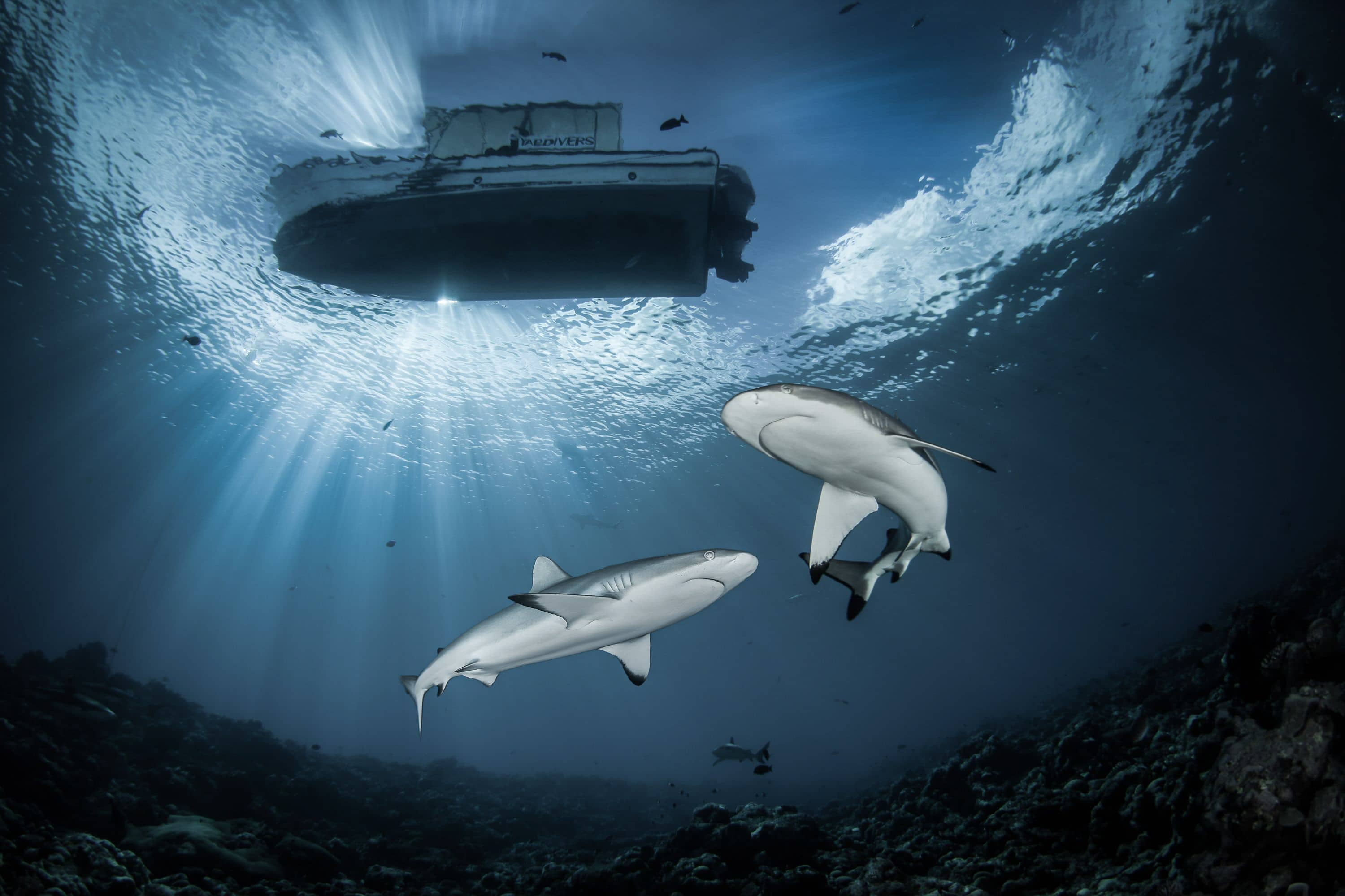 "Steven Miller's ""If you try line sun boat"" photo of sharks underneath a dive boat"