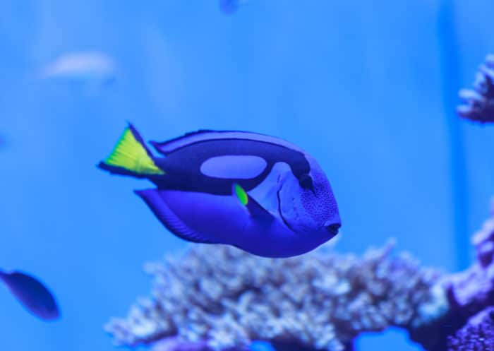 Large schools of Blue Tang can be found at dive sites around the Island of West Caicos.