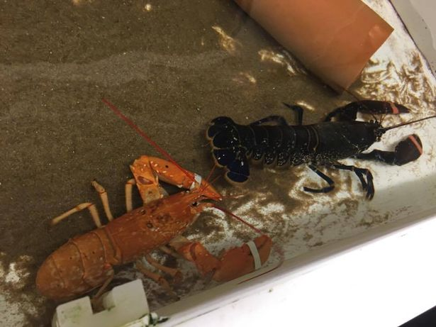 The rare orange lobster next to a more common black / blue lobster | Photo Credit: Anglesey Sea Zoo