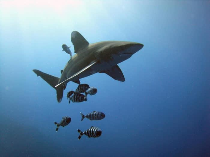 Oceanic Whitetip Shark. Taken by Michael Aston