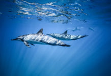 Two spinner dolphins swim near the ocean surface. Photo underwater