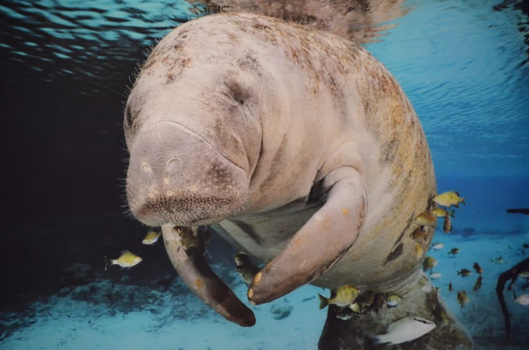 Close up of a manatee swimming underwater.