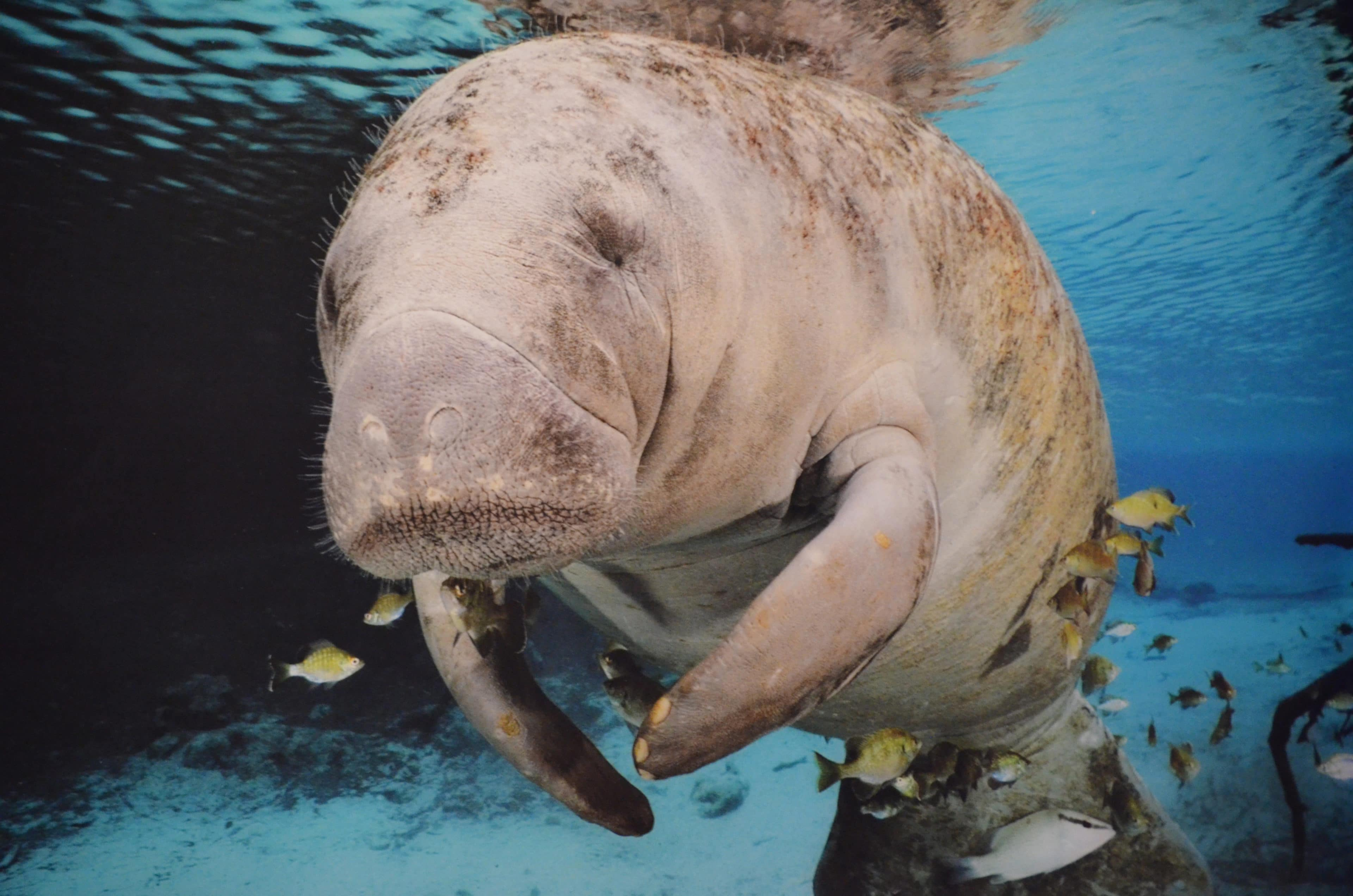 Record Number Of Manatees Died During First Half of 2021 thumbnail