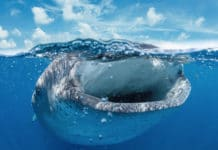 One Space Left For Whale Shark Photography Trip (Photo credit: Eric Cheng Photography)