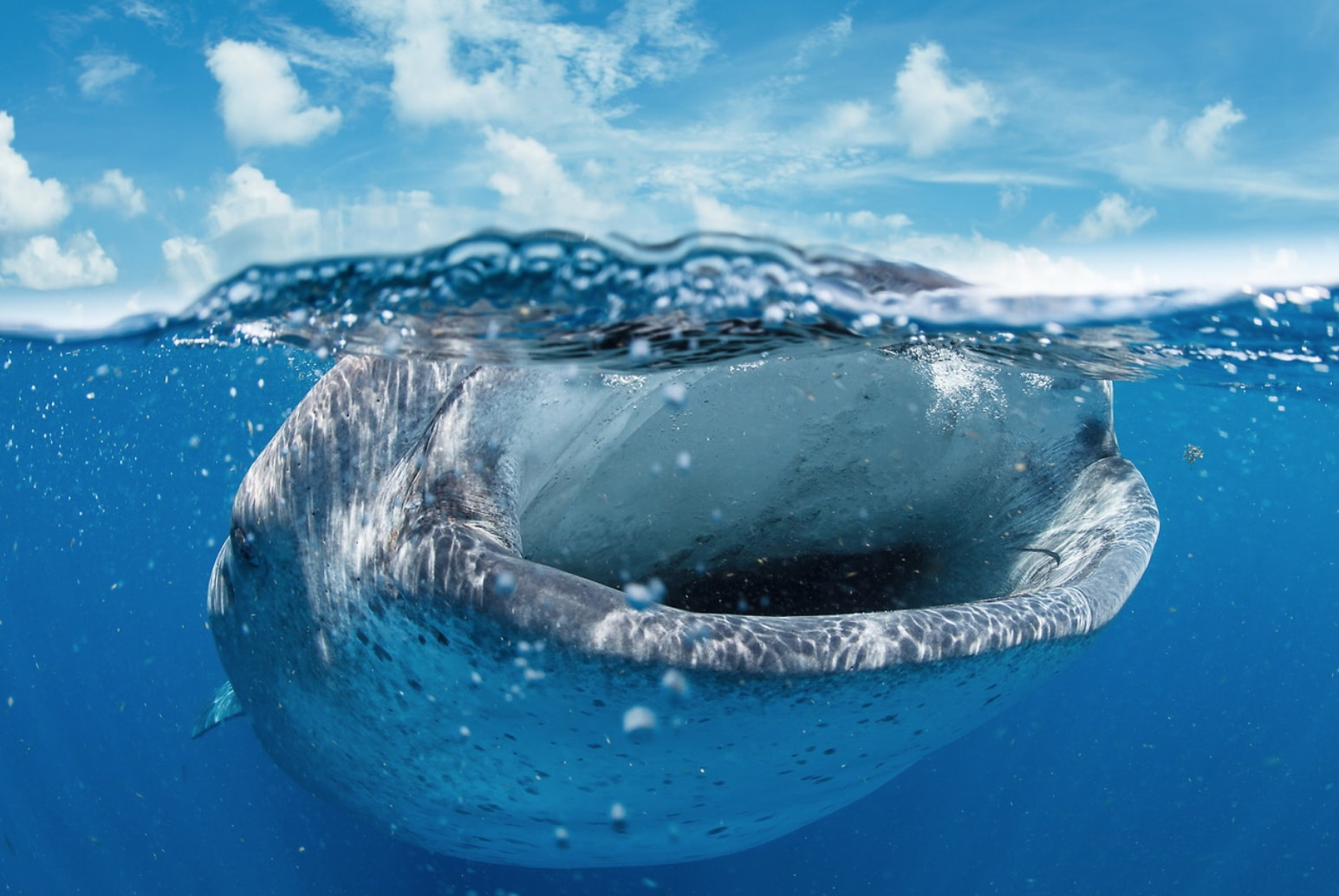One space left for whale shark photography trip photo credit eric cheng photography