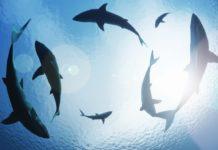 DEMA: U.S. Shark Fin Sales Ban Bill Now Has 126 Sponsors