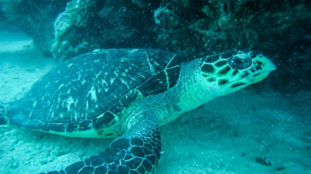 Sea Turtle With Plastic Bag In Mouth Saved By Diver (Photo credit: Melissa Hart)