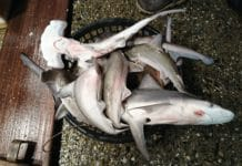Juvenile sharks at Keelung Fish Market.
