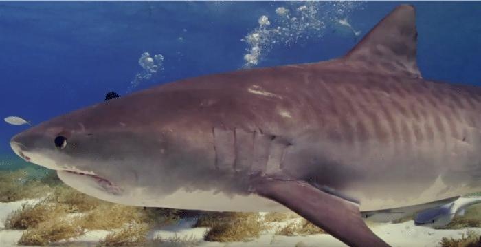 Tiger Shark at Shark Beach