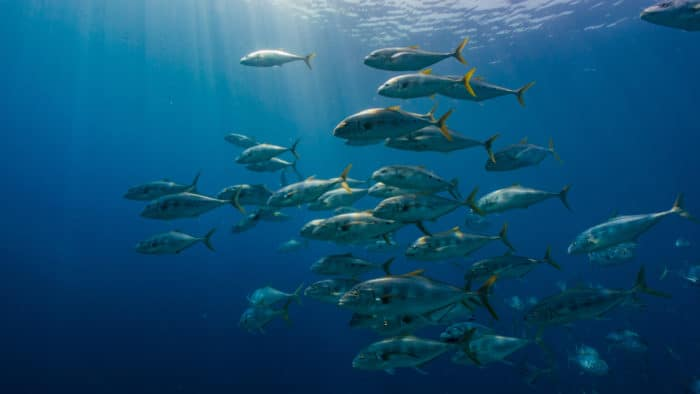 amberjack school in the blue