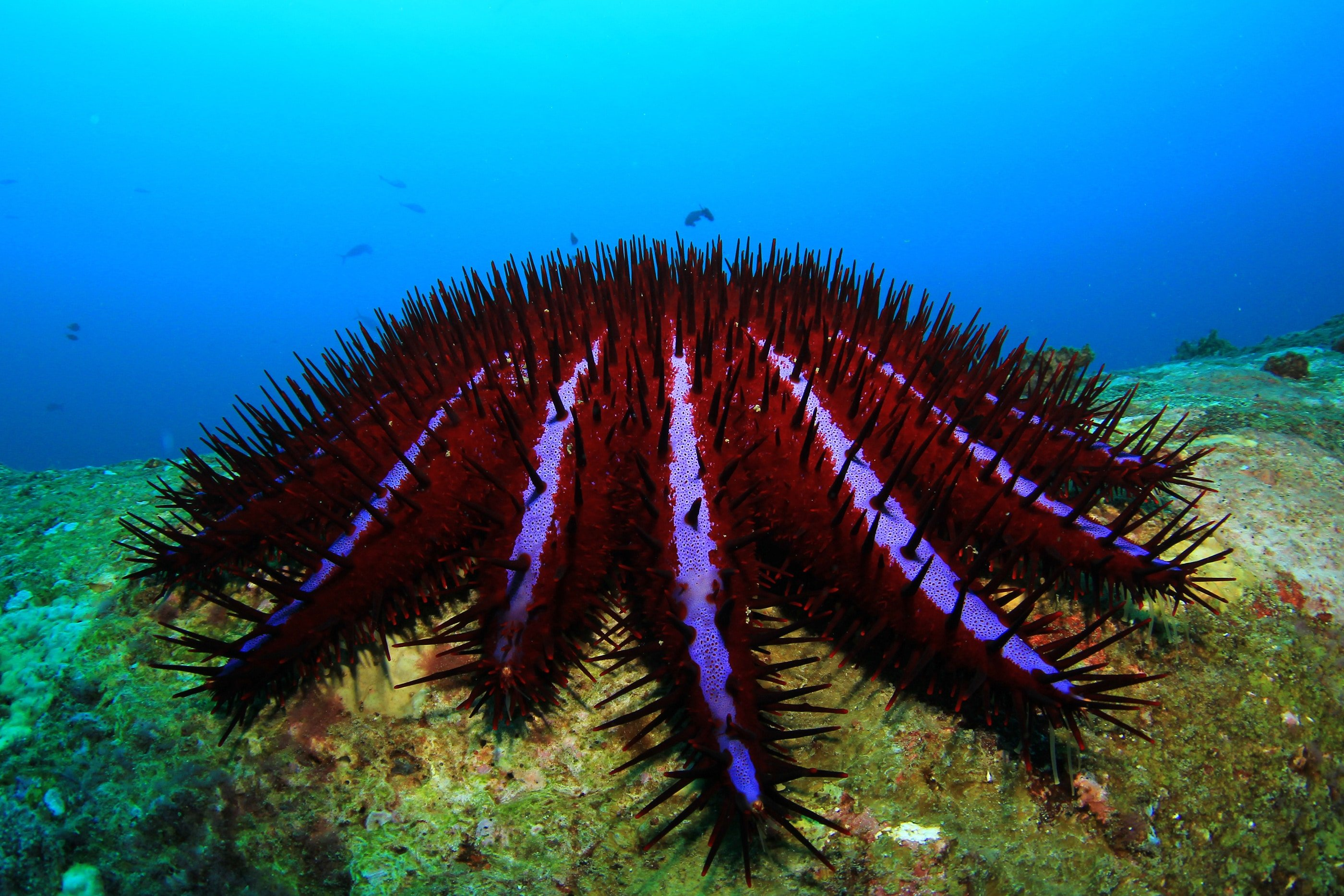 venom of crown of thorns starfish Despite a new potent injectable to help divers kill record numbers of crown of thorns starfish the plague of crown-of-thorns and venom pesticide.