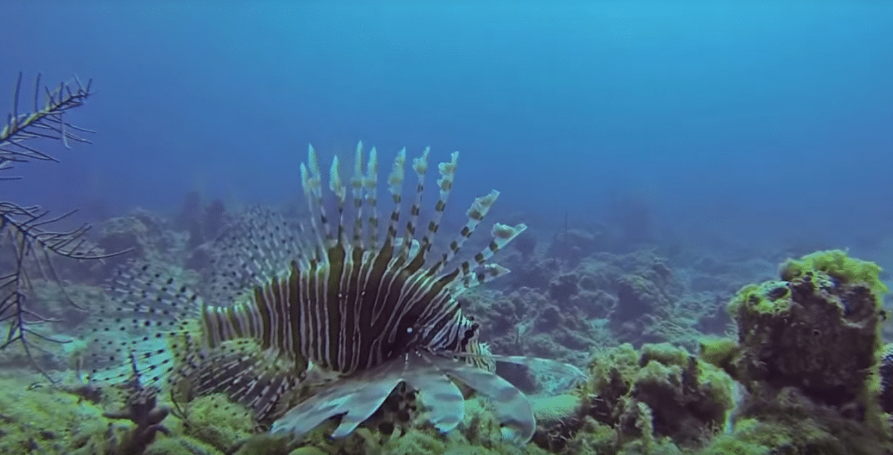 Invasive Lionfish in Carribean Waters