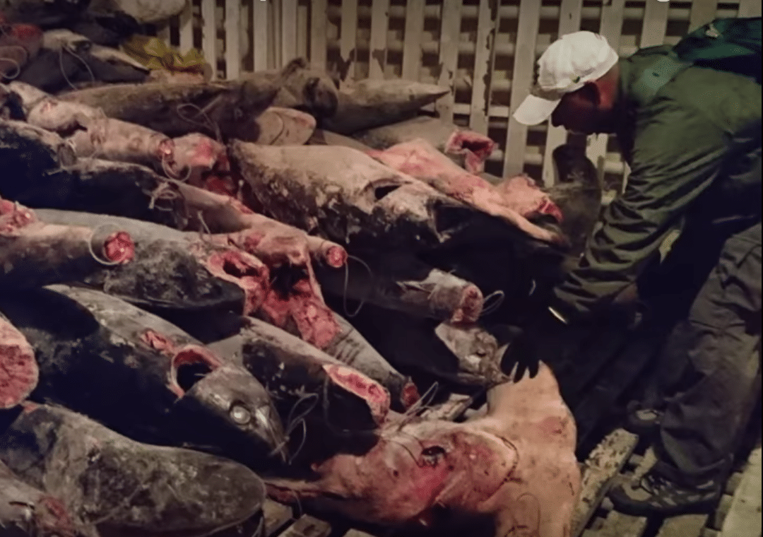Illegally caught sharks in the hold of a Chinese vessel in the Galapagos
