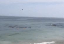 Shark Attack Seal Close To Shore,Surfers Narrowly Escape