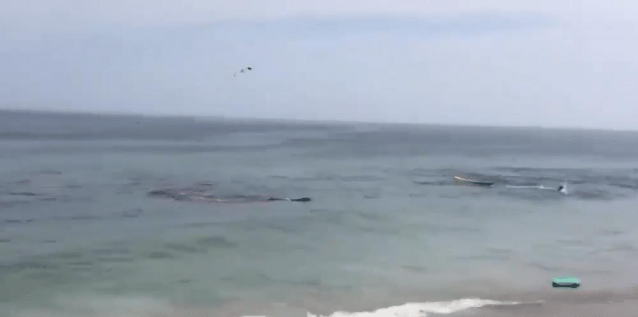 Shark Attack Seal Close To Shore,Surfers Narrowly Escape