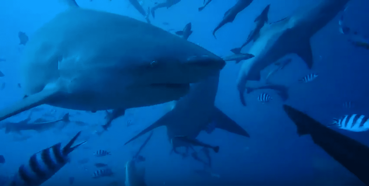 Shark Video from third placed Shareene in the PADI 4 Marine Animals Contest