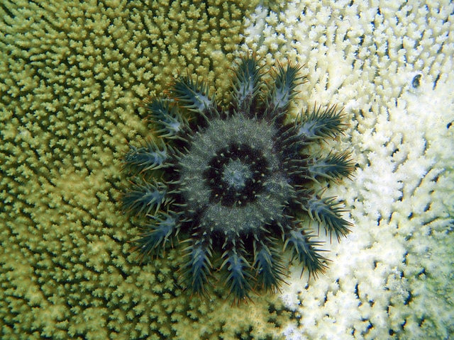 Crown of Thorns – When Starfish Go Wild – DeeperBlue.com