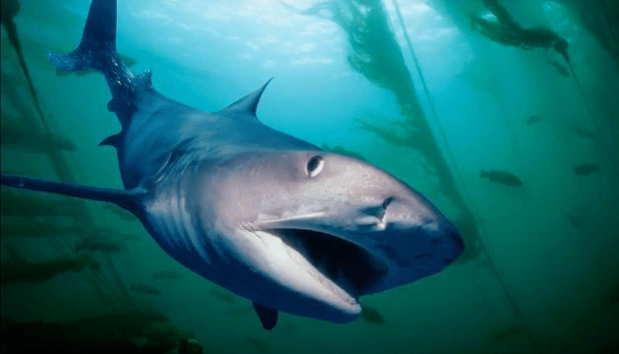 Diver swims Five Miles To Shore With A Tiger Shark Following Him