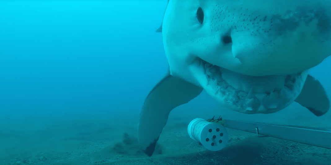 Great White takes a camera for a wild ride