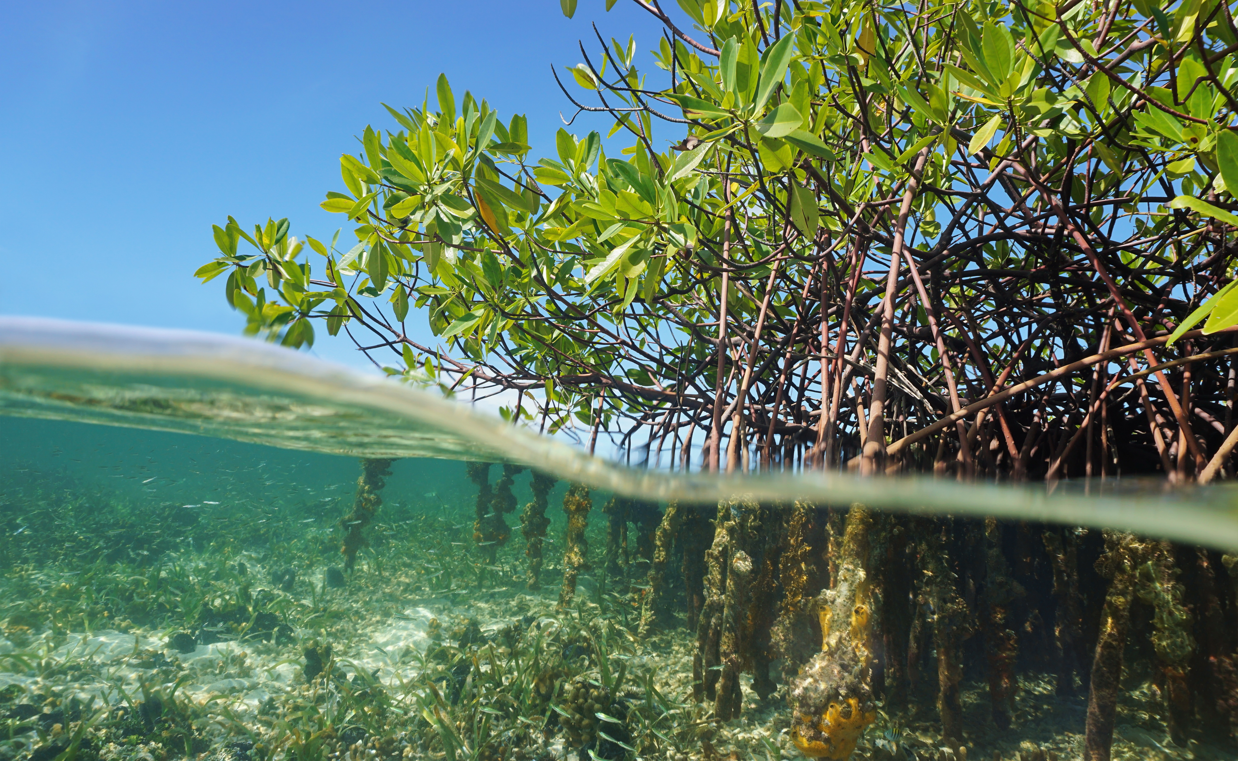 Mangrove trees diving in the Caribbean sea, Panama, Central America