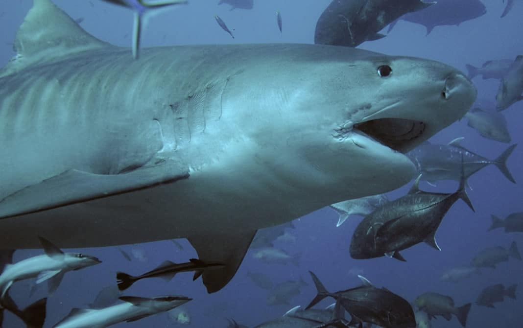 Tiger Shark Kills U.S. Diver Off Costa Rican Island
