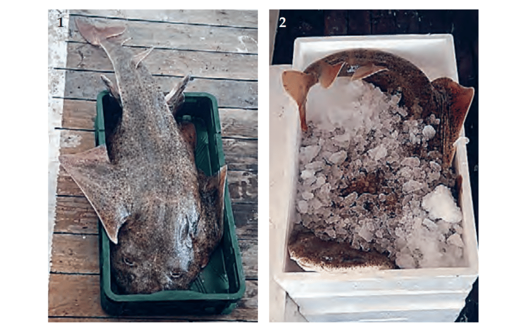 Endangered Angel Sharks Reported In Adriatic Sea
