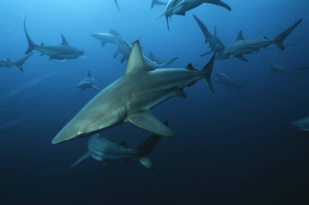 Aliwal Shoal, Indian Ocean, South Africa, blacktip sharks (Carcharhinus limbatus) swimming in ocean