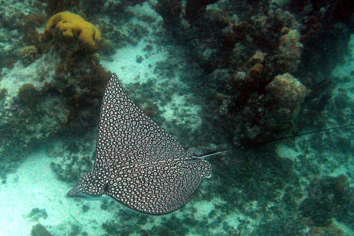 You'll find Eagle Rays gliding around Bloody Bay Wall