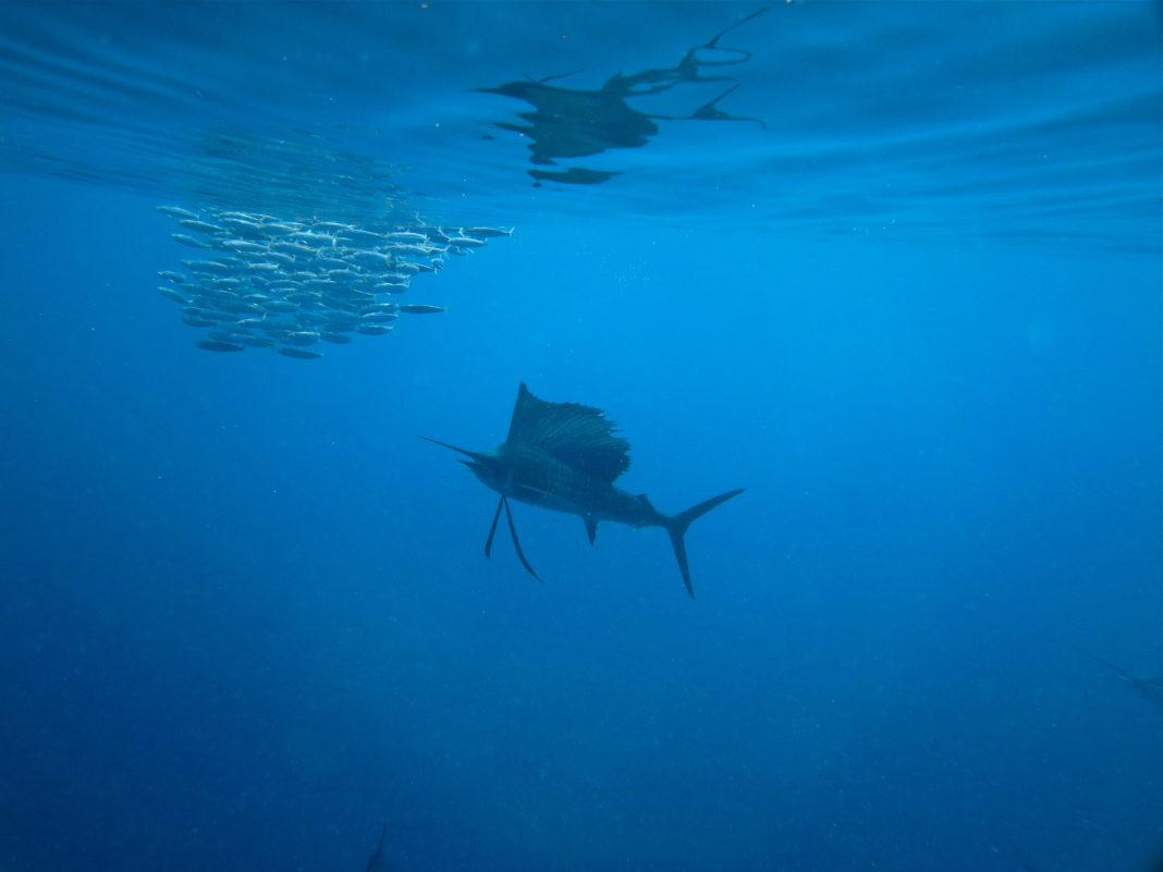 Freediving with Sailfish during the Yucatan Sardine run