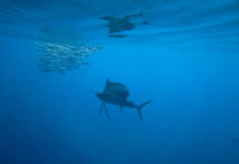 Freediving with Sailfish during the Yucatan Sardine run