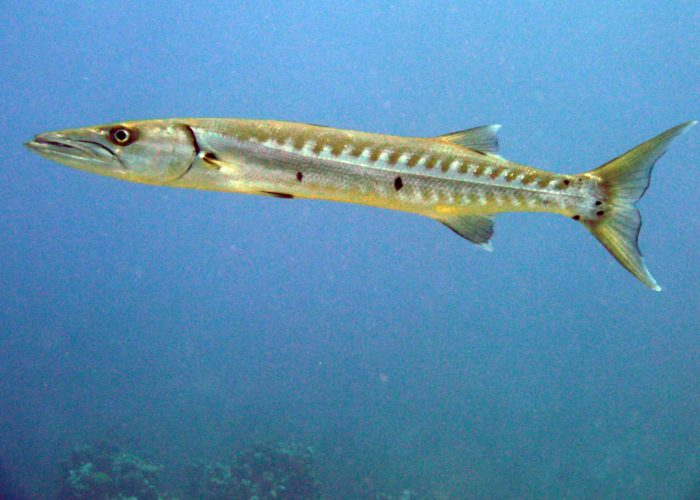 Look out for Barracuda within the many swim-throughs at Devil's Grotto
