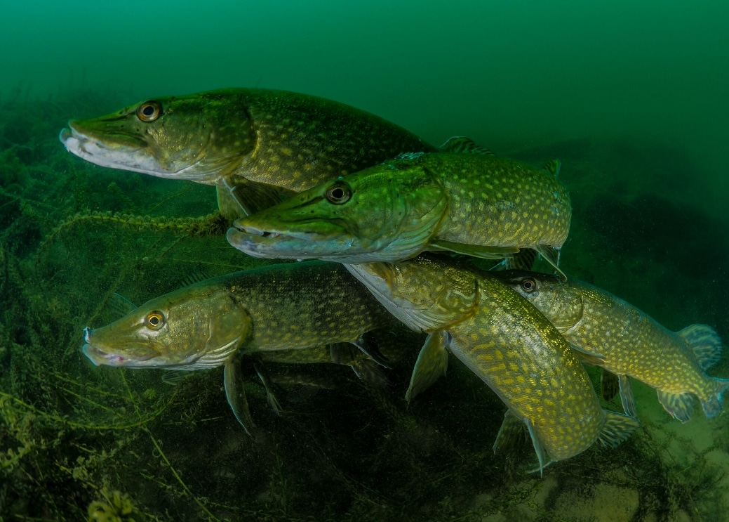"""How Many Pike"" ©Tony Stephenson/UPY2018"