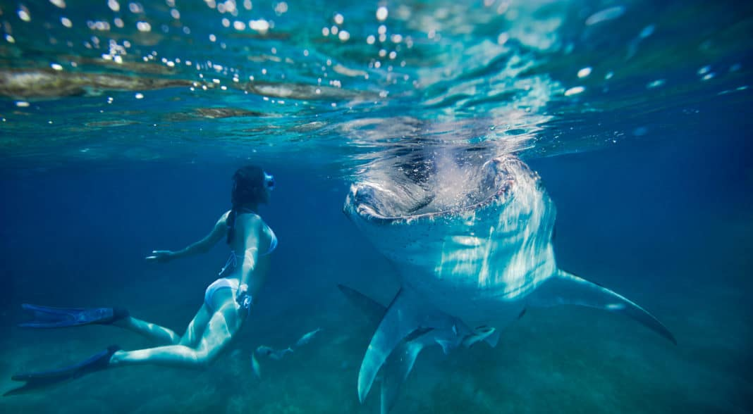 woman freediving underwater looking at a large whale shark in the Philippines