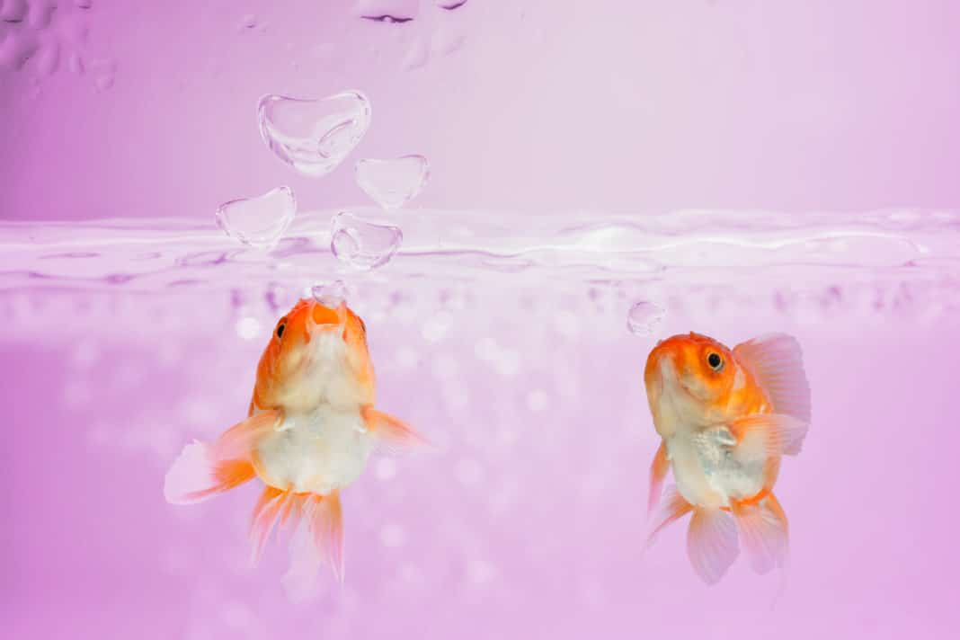Goldfish blew bubbles into heart shapes in pink water