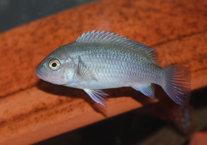 Lake Tanganyika is teeming with hundreds of Cichlids
